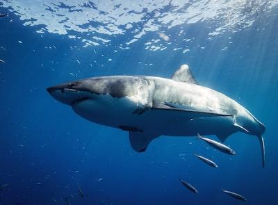 white and black shark underwater