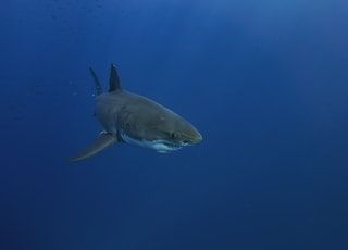 black shark in blue water