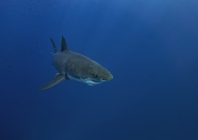 black shark in blue water shark teams background