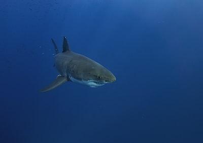 black shark in blue water