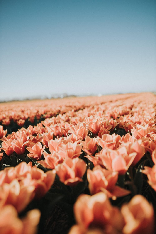 pink flower field during daytime