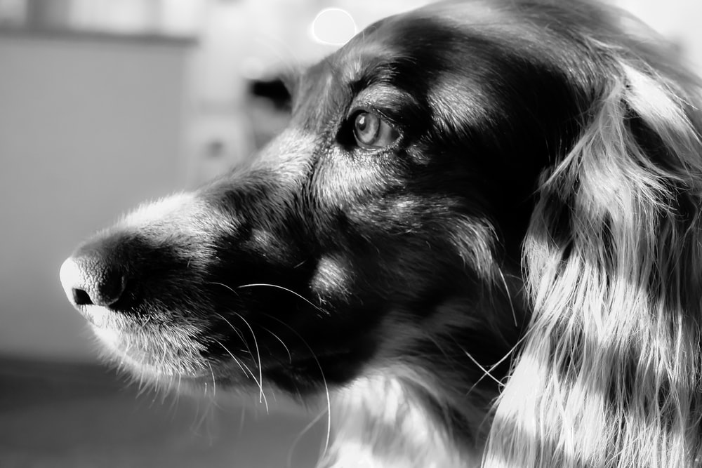 grayscale photo of dog with tongue out