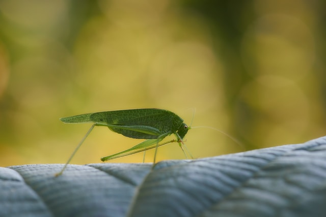 green grasshopper on green leaf in close up photography during daytime