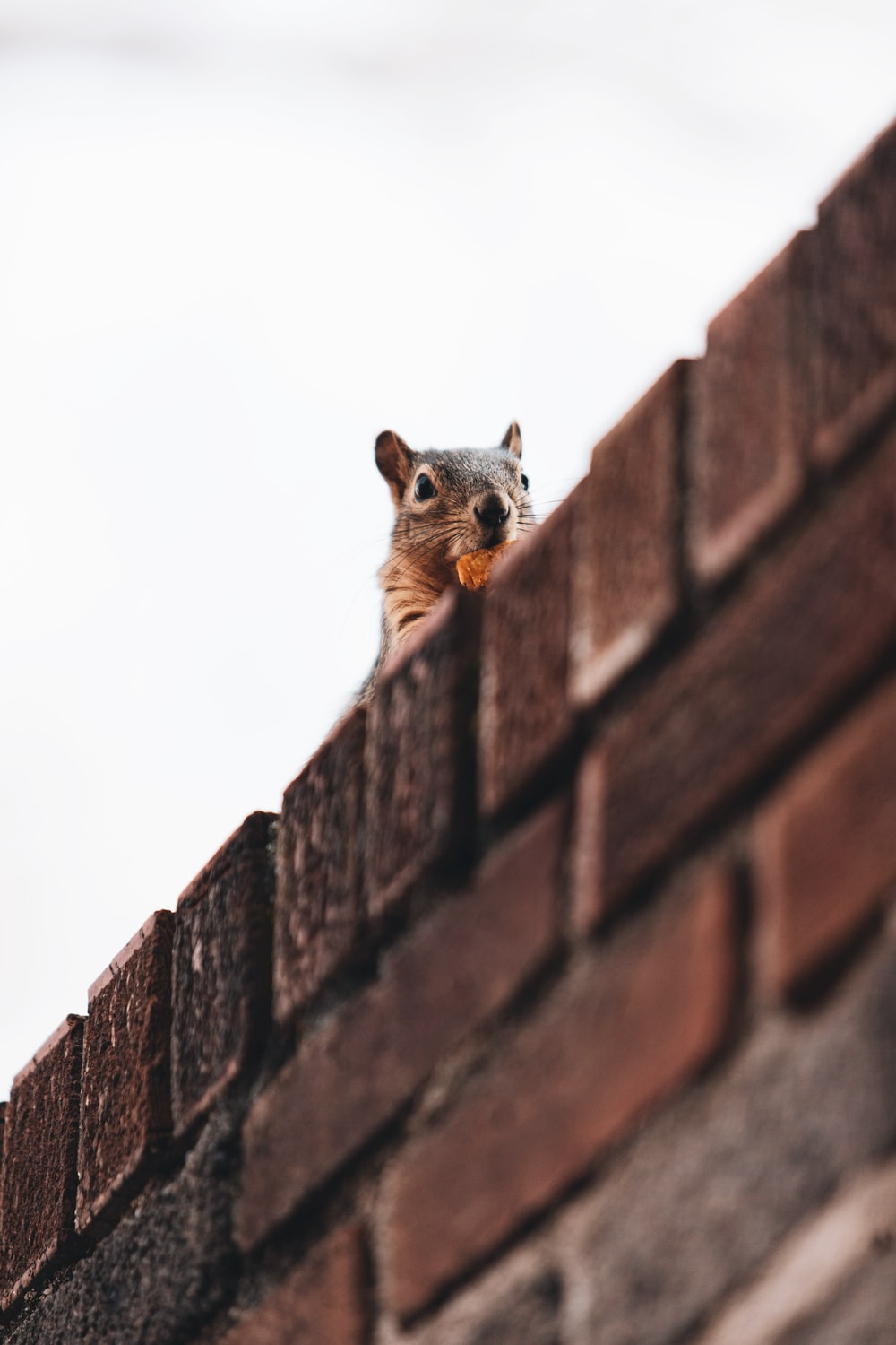 brown squirrel on brown brick wall