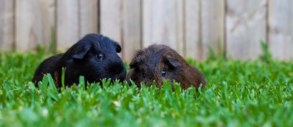 brown guinea pig on green grass during daytime