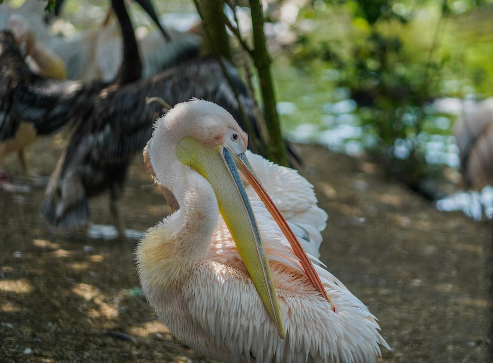 white pelican on brown soil