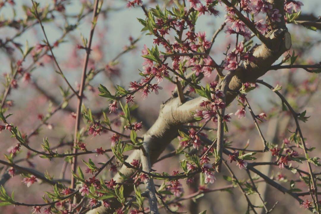 Apple Orchard Blossoming on a Spring Day