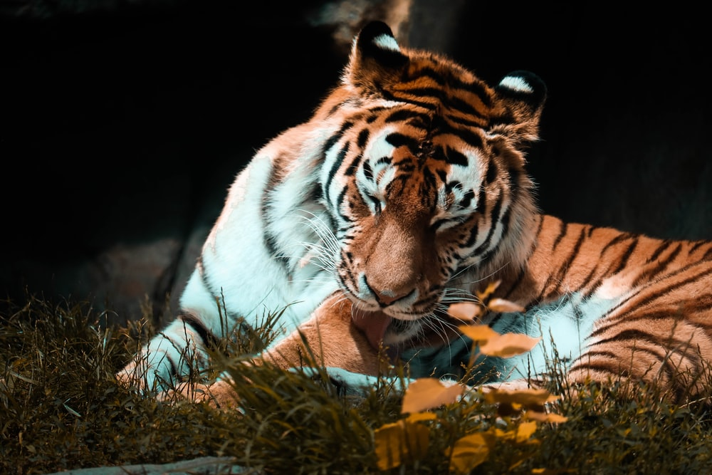 tiger lying on brown grass