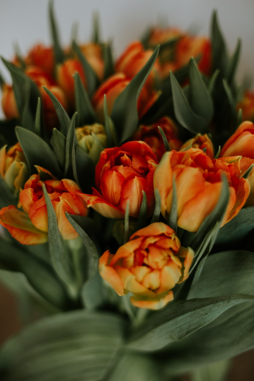 orange and yellow tulips in bloom