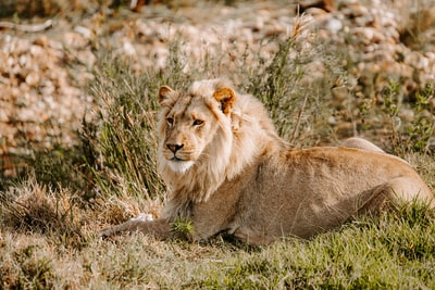brown lion on green grass during daytime mammal zoom background