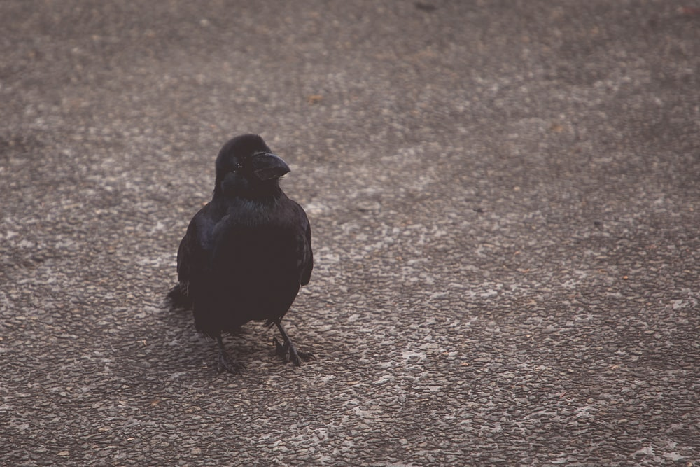 black bird on brown ground during daytime