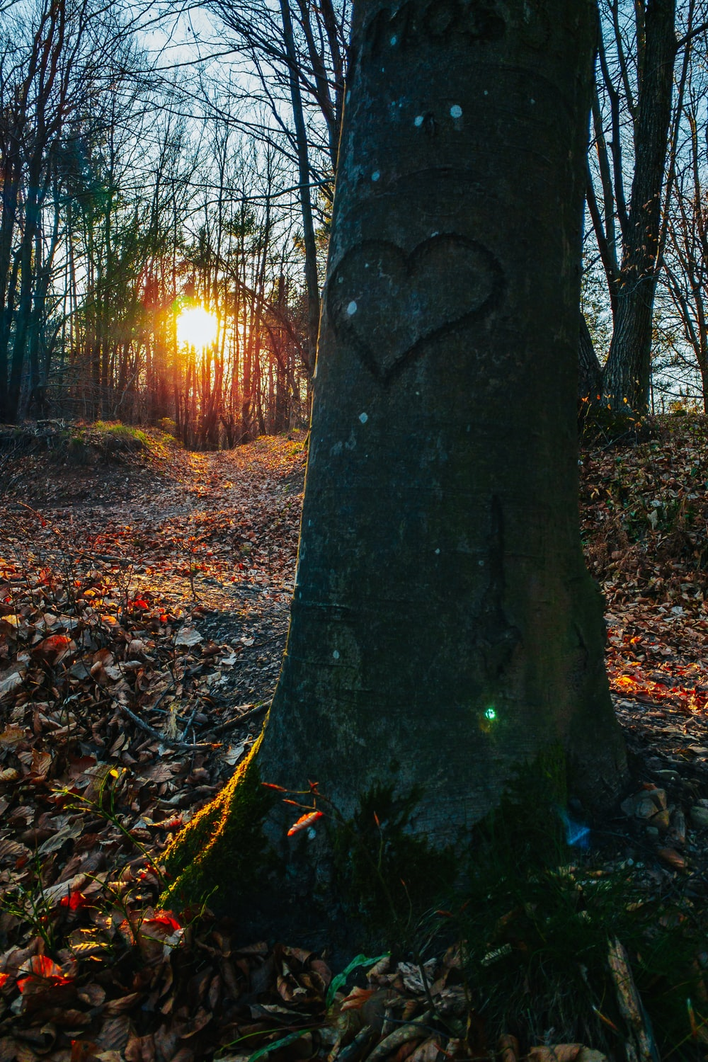 brown tree trunk on brown dried leaves during sunset