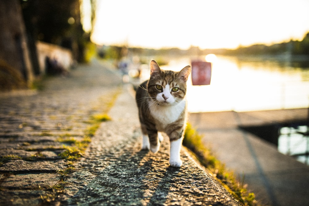 brown and white tabby cat walking on the street during daytime