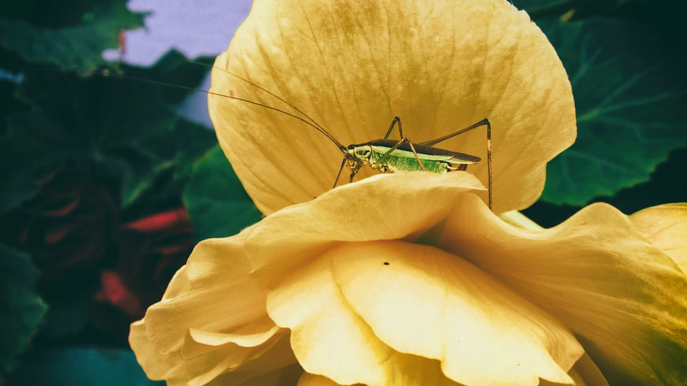 green grasshopper perched on yellow flower in close up photography during daytime