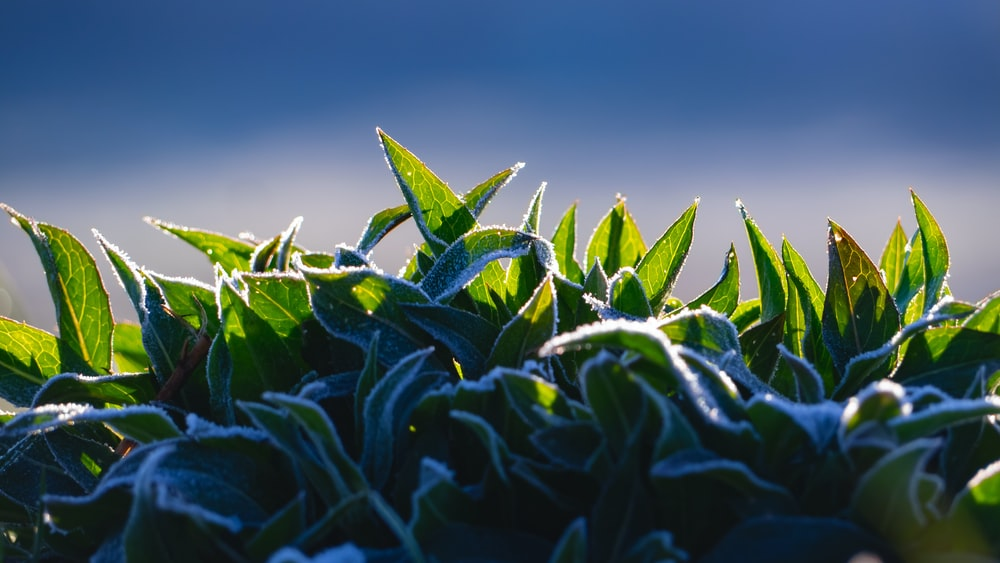 Green Tea Leaves Pictures Download Free Images On Unsplash