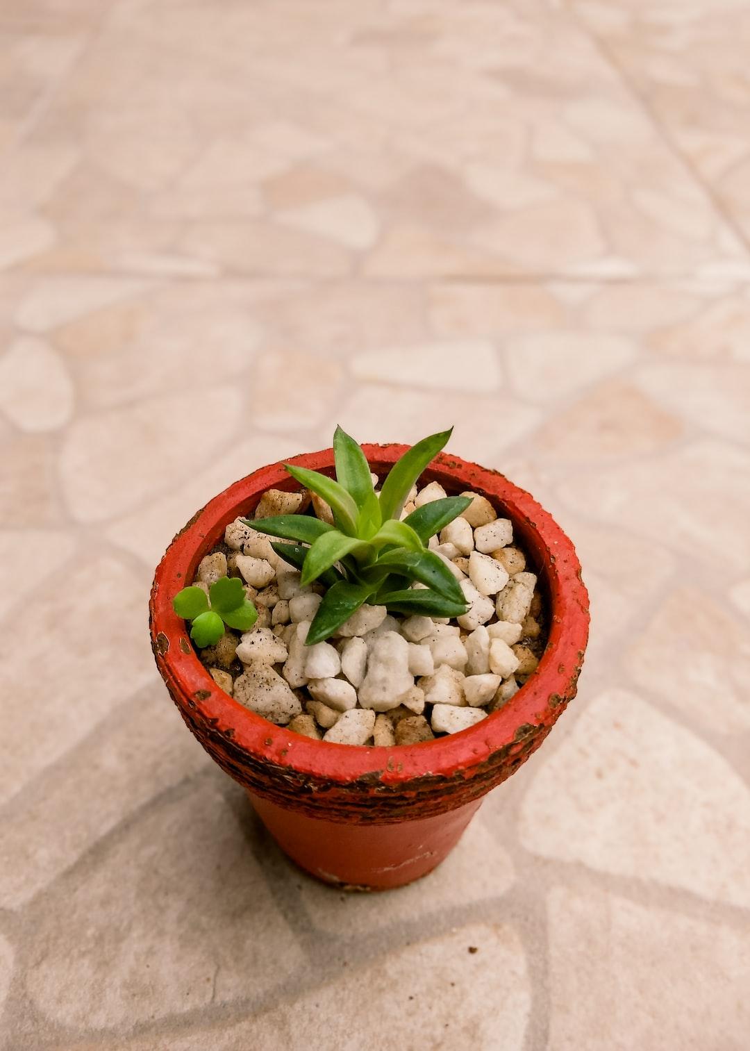 succulent plant in red vase.