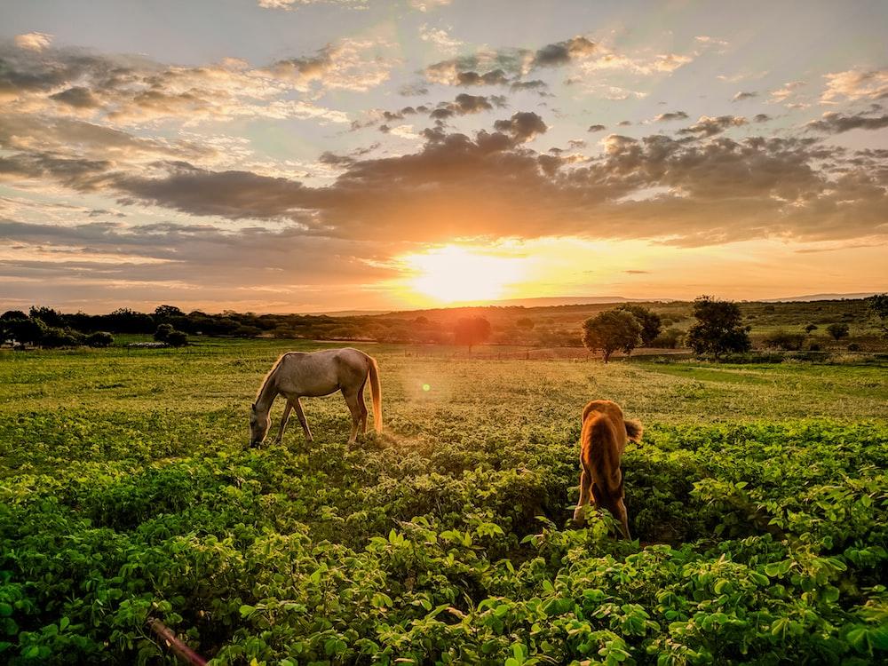brown horse eating grass on green grass field during sunset
