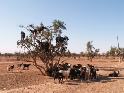 herd of sheep on brown field during daytime