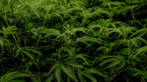 Cannabis: The business can move up to 50,000 million globally in 2026, according to the estimate of investment bank Cowen