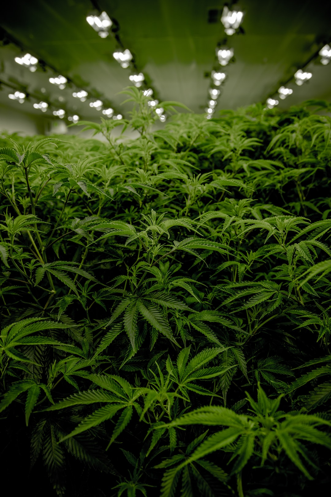 Next Green Wave Cannabis plants in California