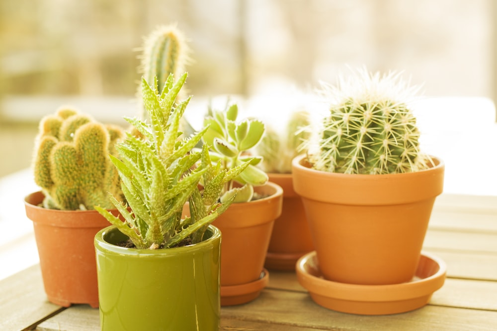 green cactus in brown clay pot