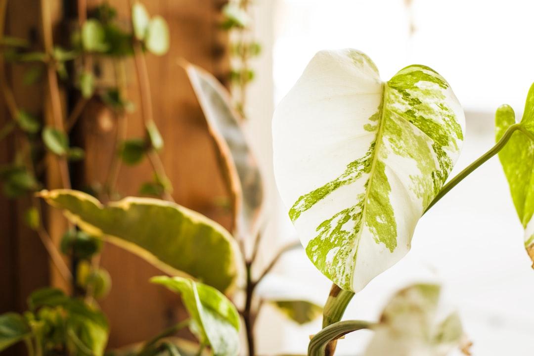 Monstera Deliciosa Variegata new leaf