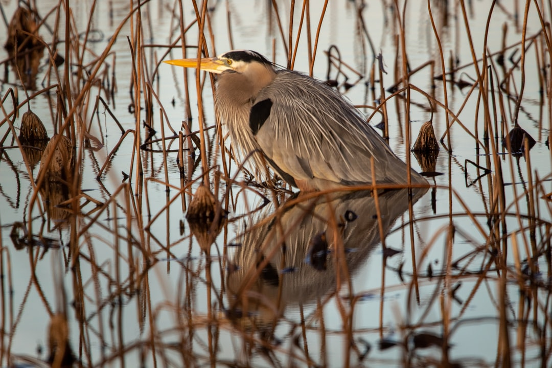 A great blue heron hanging out in the reeds of Oneal Lake at the Hatchie National Wildlife Refuge.