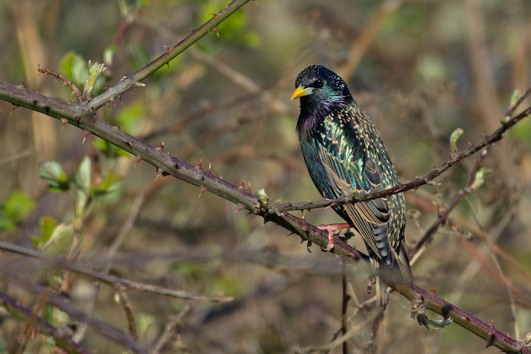 Starling on Wanstead Flats, London.