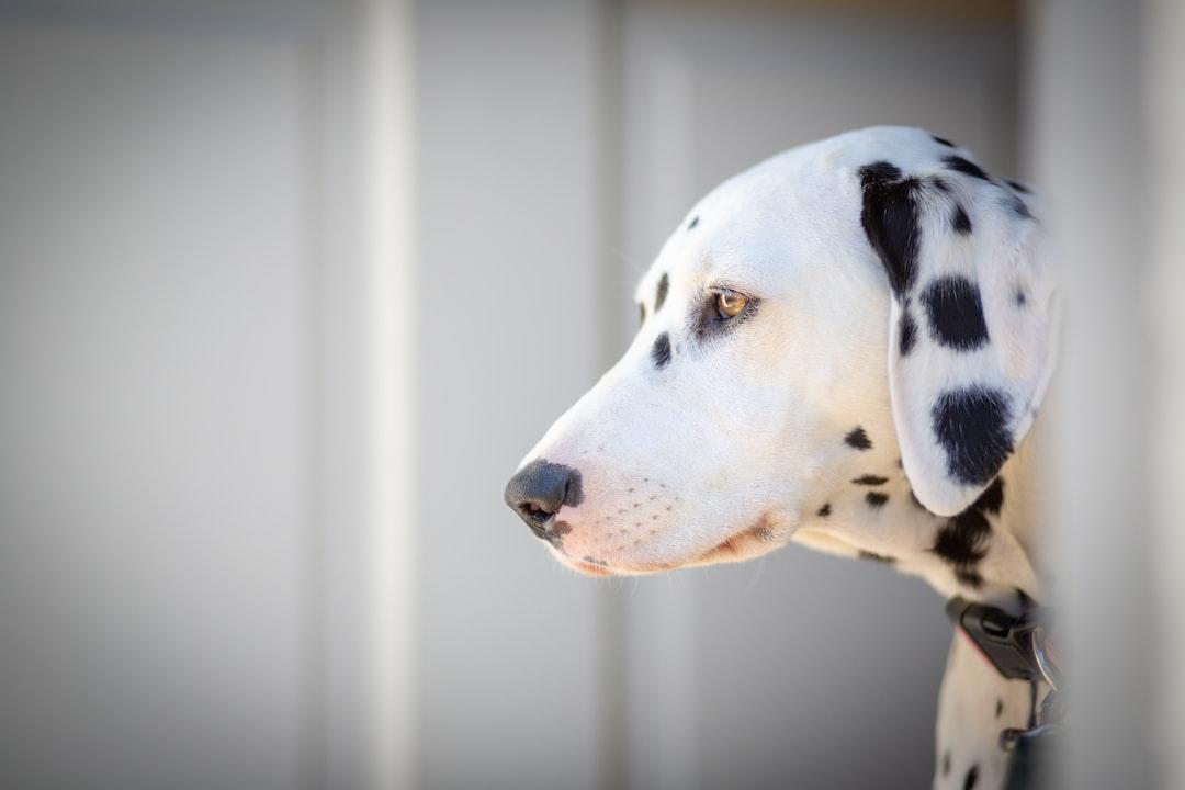 Dalmatian Dog Pure Breed Dots Black and White Head White Door Brown Eyes Best Friend @jutta_kamp