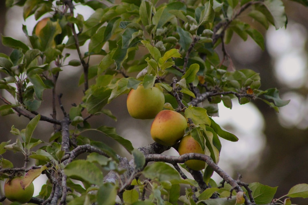 fall, apple tree