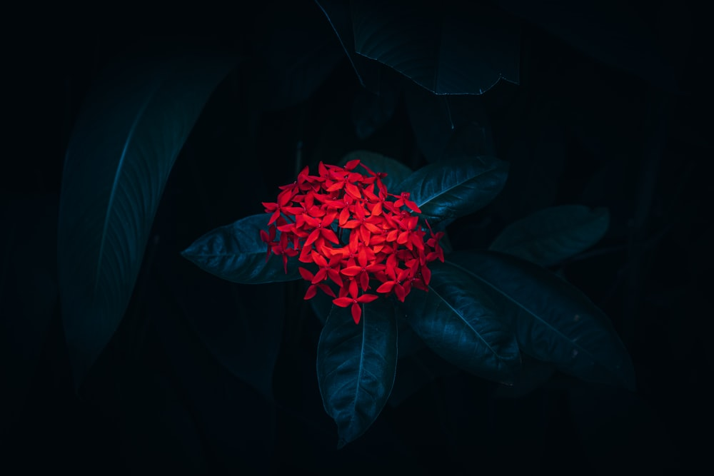 red flower in black background