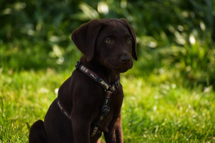 chocolate labrador retriever puppy on green grass field during daytime