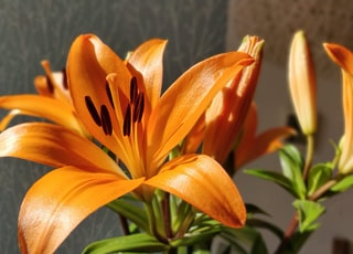 orange lily in bloom during daytime
