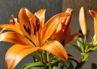 orange lily in bloom during daytime