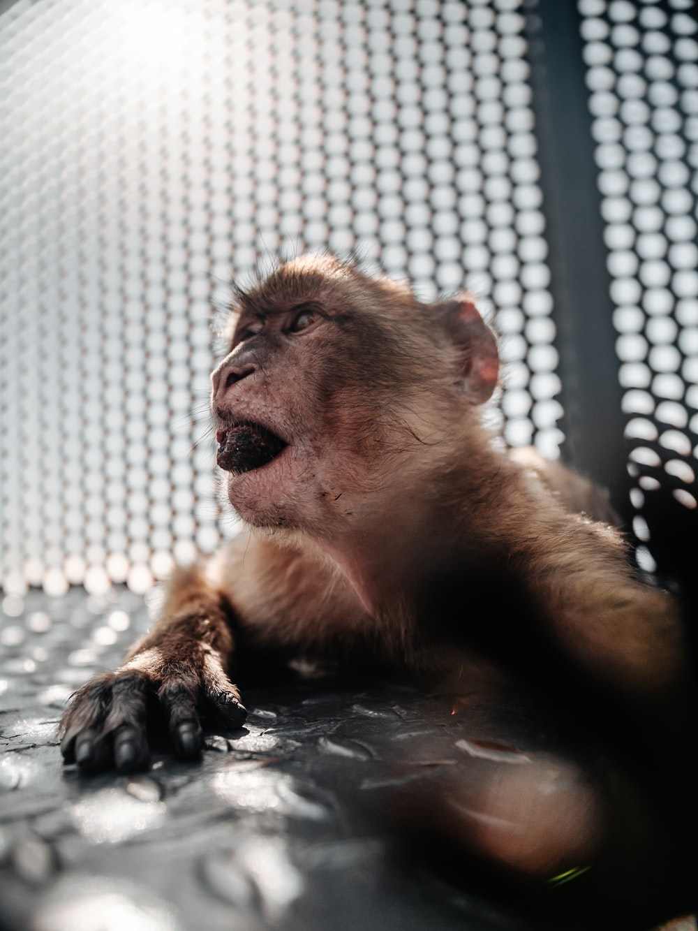 brown monkey on white net