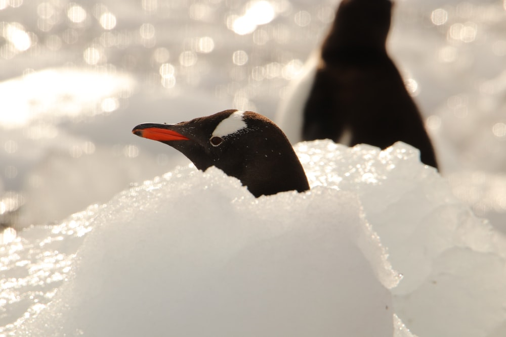 black and white penguin on snow covered ground during daytime