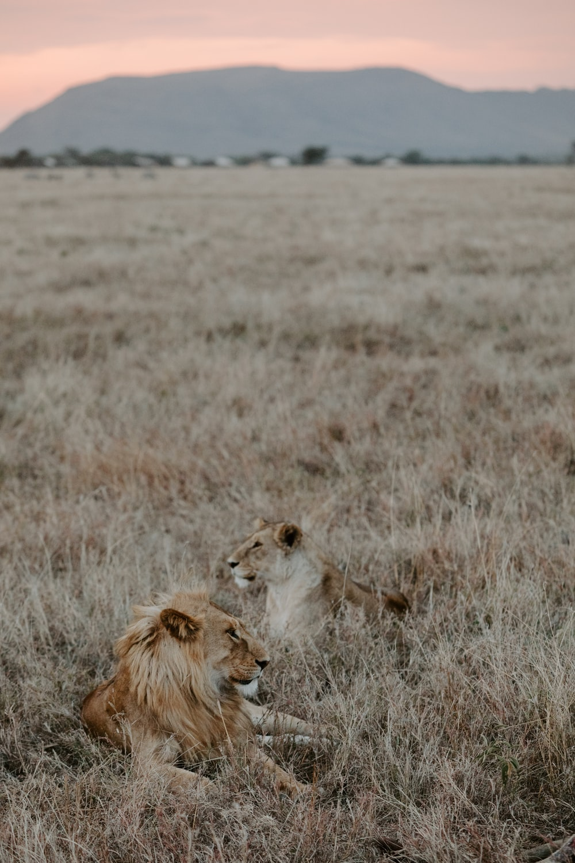 lion on brown grass field during daytime