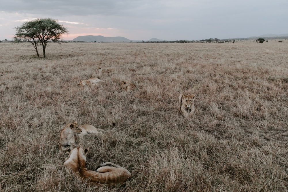brown and white lion on brown grass field during daytime
