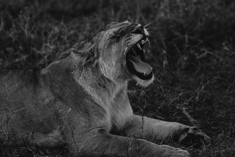 grayscale photo of lion lying on grass