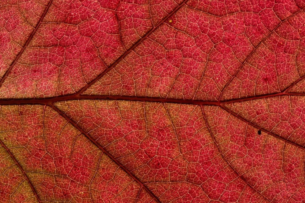 red leaf in close up photography