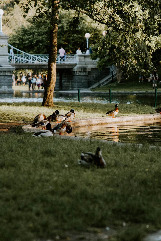 flock of ducks on green grass field during daytime