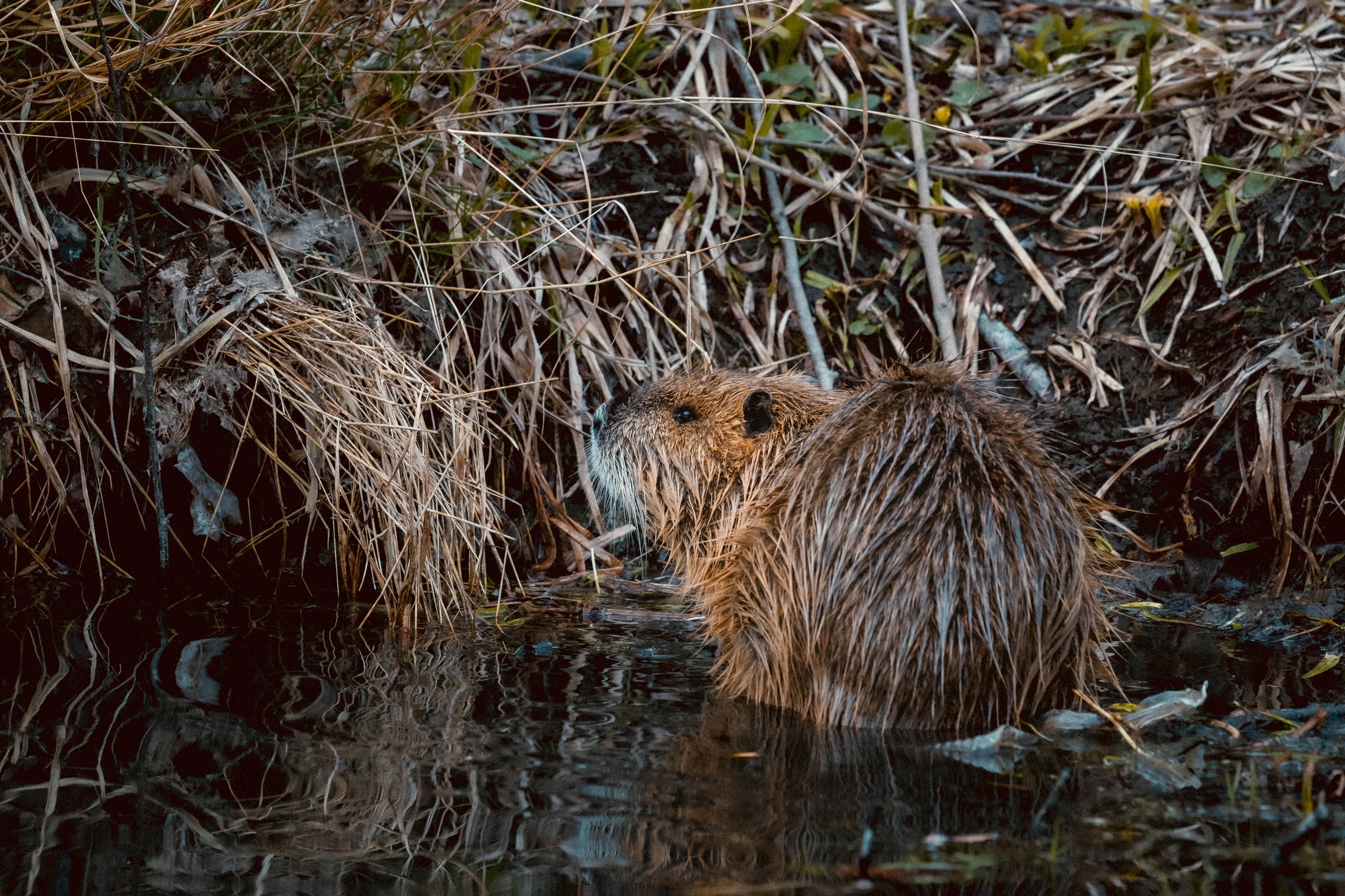 Beavers Rule the Roost at Crater Lake