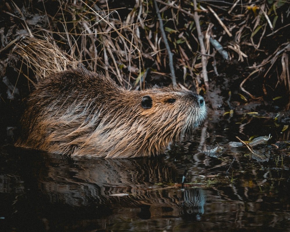 brown rodent on body of water