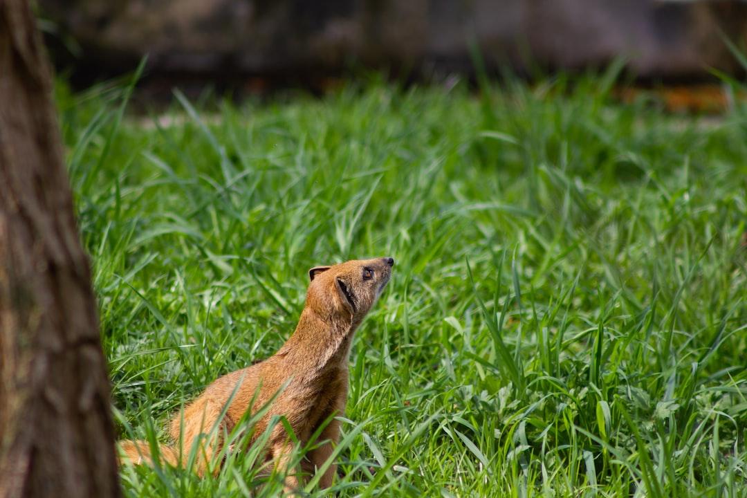 A yellow mongoose enjoying the sun in the Rotterdam Zoo