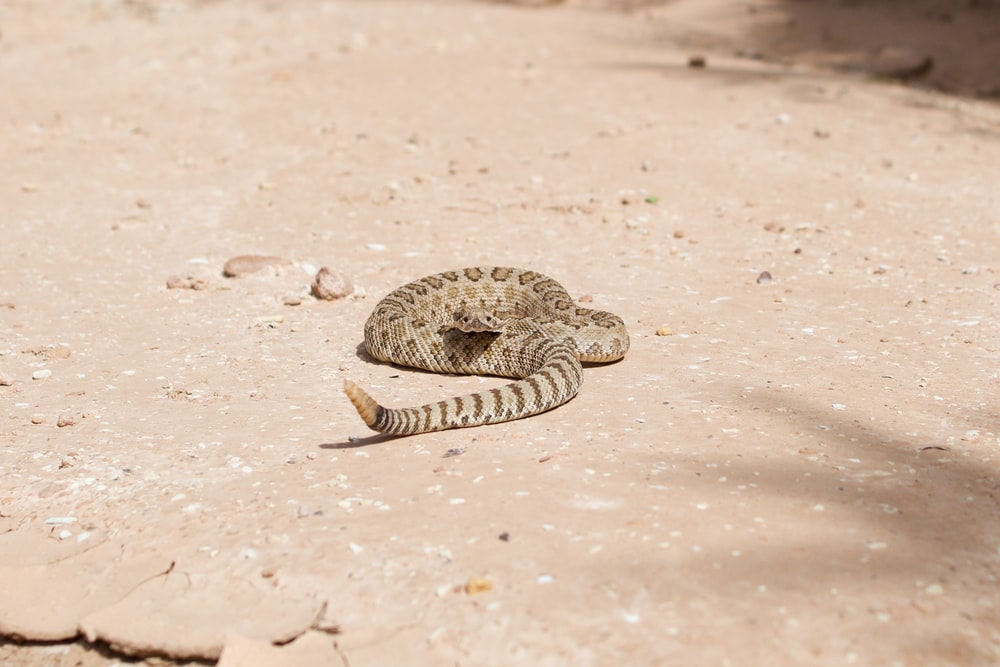 brown and black snake on brown sand during daytime