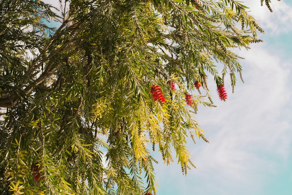 green tree with red fruit under blue sky during daytime