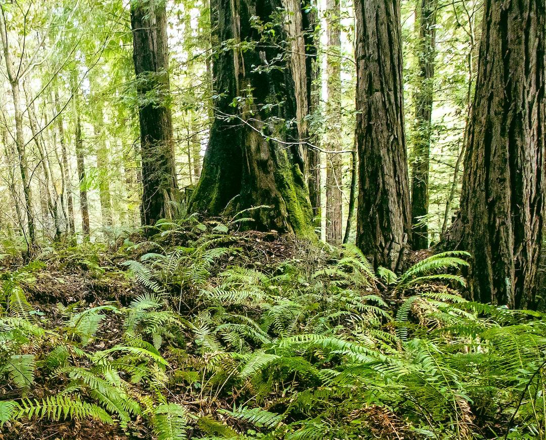 ferns & redwood trees