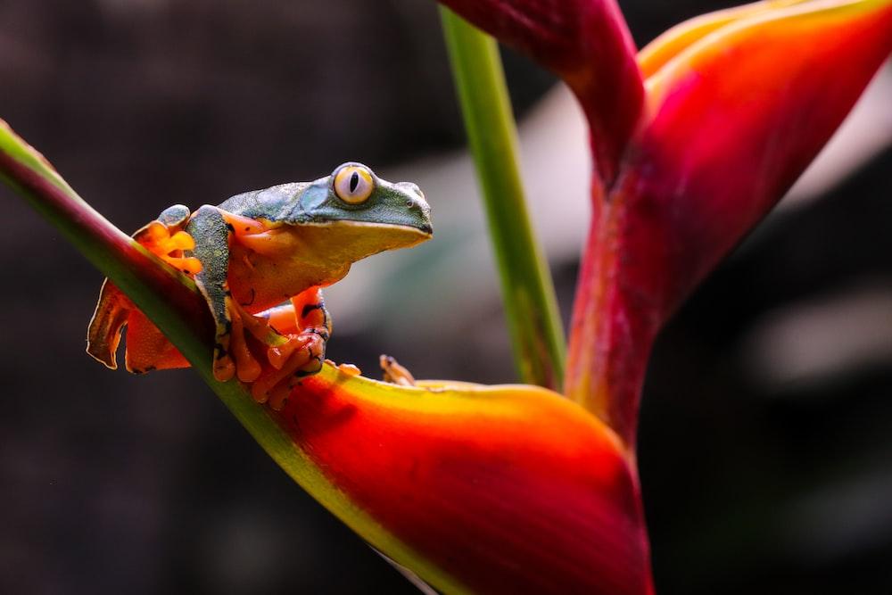 blue frog on red flower