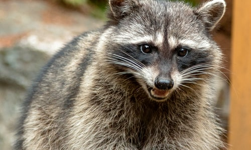 pet raccoon facts