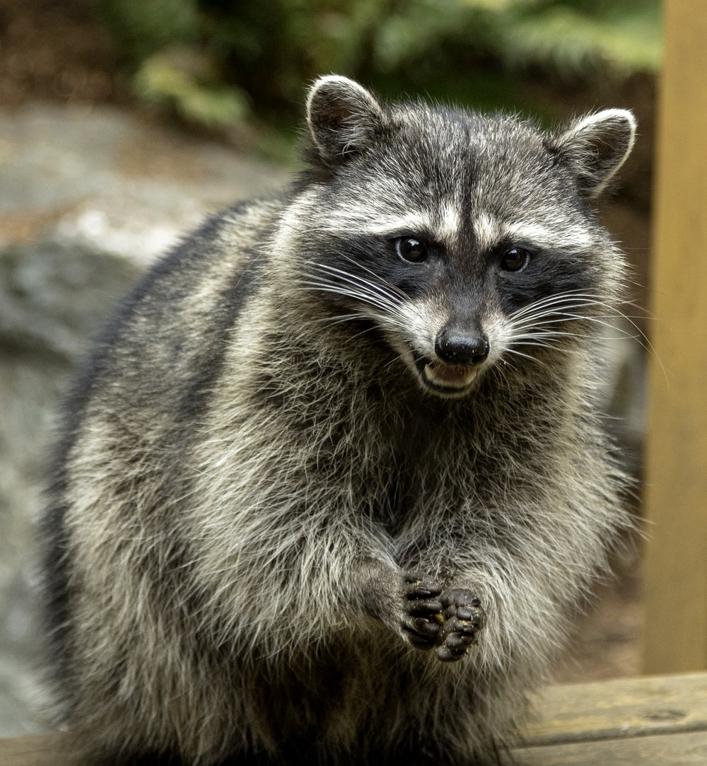 gray and black raccoon on brown wooden surface